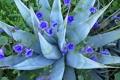 Картинка листья, природа, лепестки, агава