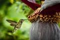 Картинка цветок, колибри, плод, spring nectar