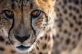 Картинка морда, портрет, хищник, гепард, дикая кошка