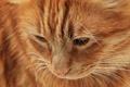 Картинка кошка, кот, морда, рыжий