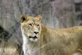 Картинка кошка, взгляд, львица