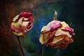 Картинка цветы, природа, розы