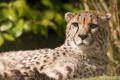 Картинка морда, отдых, хищник, гепард