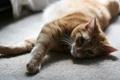 Картинка кошка, кот, макро, котенок, ковер, рыжий, лежит