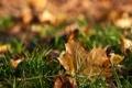 Картинка осень, трава, лист, клен