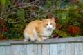 Картинка осень, взгляд, забор, Кошка, рыжий, сидит, cat