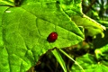 Картинка insect, nature, горошек, черный, насекомое, ladybird, природа