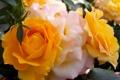 Картинка Макро, Цветы, Розы, фото