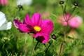 Картинка зелень, белый, цветы, яркий, розовый, бутоны, космея