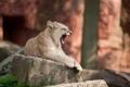 Картинка кошка, камень, лев, детёныш, зевает, львёнок