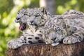 Картинка кошки, отдых, ирбис, снежный барс, троица, ©Tambako The Jaguar
