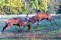 Картинка природа, олени, борьба