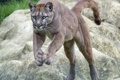 Картинка кошка, прыжок, пума, горный лев, кугуар, ©Tambako The Jaguar