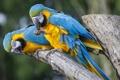 Картинка птица, ветка, попугай, пара
