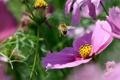 Картинка цветы, насекомое, розовые, шмель, космея