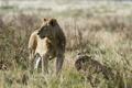 Картинка взгляд, отдых, лев, львы