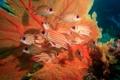 Картинка рыбы, белка, beautiful, коралловый, coral, squirrel fish, море фана