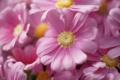 Картинка цветы, пыльца, розовые, много, хризантема