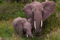 Картинка слоны, слониха, слонёнок
