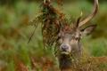 Картинка Благородный олень, трава, рога, взгляд