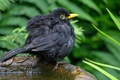 Картинка птица, птенец, желторотик, Черный дрозд