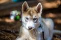 Картинка взгляд, друг, собака, Husky