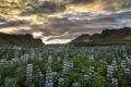 Картинка цветы, горы, луг, Исландия, Iceland, люпины, Вик