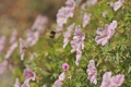 Картинка цветы, природа, шмель