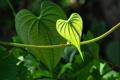 Картинка природа, лист, сердце, растение
