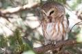 Картинка сова, птица, ветка, Североамериканский мохноногий сыч, мохноногий сыч