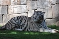 Картинка кошка, трава, тигр, камень, тень, белый тигр