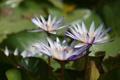 Картинка листья, вода, лепестки, цветение, водяные лилии, водоем, цветки