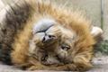 Картинка морда, лев, кошка, грива, взгляд