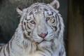 Картинка морда, портрет, хищник, белый тигр, дикая кошка