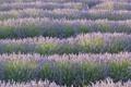 Картинка поле, цветы, природа, пейзажи, лаванда