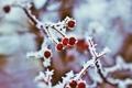 Картинка иней, размытость, мороз, рябина, Christina Manchenko