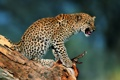 Картинка котенок, Леопард, коряга, детеныш, недовольство, солнечный свет, возмущение