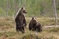 Картинка природа, лес, медведи