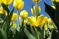 Картинка зелень, небо, весна, тюльпаны