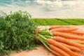 Картинка carrot field, морковное поле, молодая морковь, young carrots