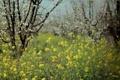 Картинка природа, весна, сад, рапс