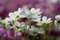 Картинка размытость, полевый, белая, космея, цветы