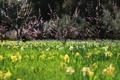 Картинка нарциссы, весна, деревья, цветущие, вишни, цветы