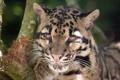 Картинка кошка, морда, дымчатый леопард