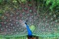 Картинка птица, хвост, павлин