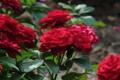 Картинка цветы, куст, розы, кустарник