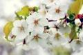 Картинка дерево, ветка, весна, яблоня, цветение