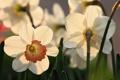 Картинка flower, Daffodils, garden