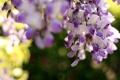Картинка цветы, природа, фон, Глициния