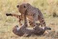 Картинка кошки, игра, пара, гепарды